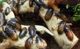 Отмъщение за бившите! Кръщават хлебарки на екс гаджета за Свети Валентин
